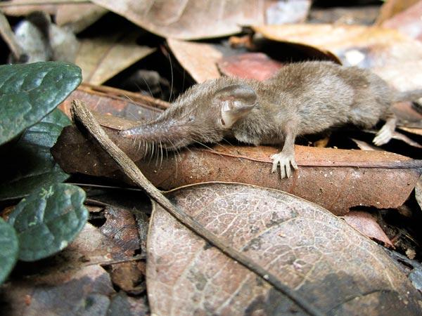 """Spesies baru """"Cecurut Rumah"""" di Sulawesi Indonesia (sumber gambar: disini)"""